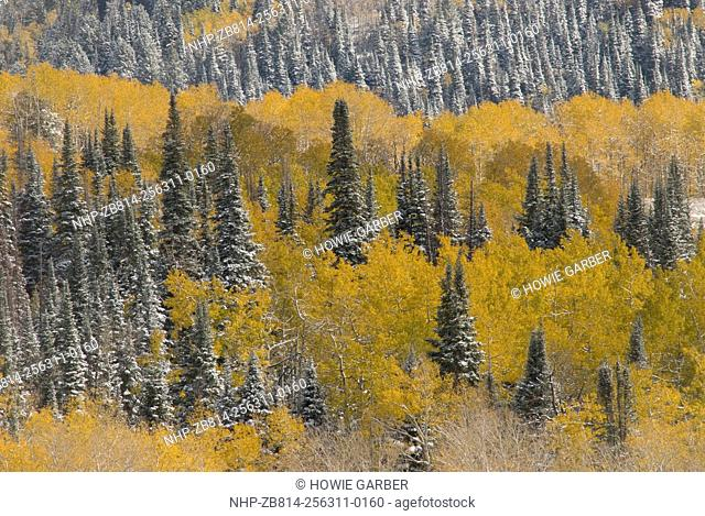 Evergreens and Aspens, Fall Snow storm near Encampment Wyoming, Aspen Alley, Battle Mountain Pass,Medicine Bow Mountains and National Forest