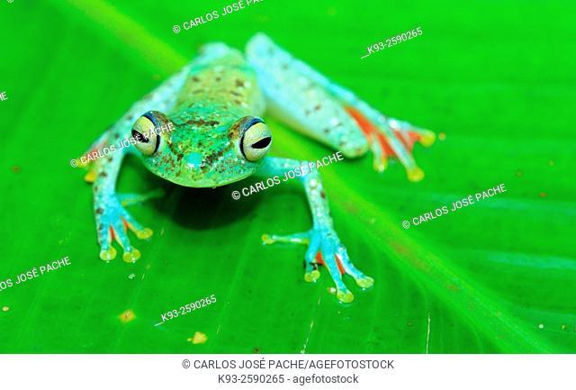 Powdered glass frog (Cochranella pulverata), Manuel Antonio National Park, Costa Rica