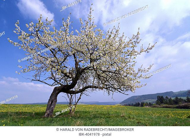 Apple tree on a flower meadow, Thuringia, Germany