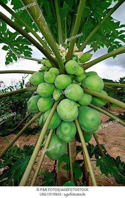 Female flower and fruits of papaya, Carica papaya, Caricaceae