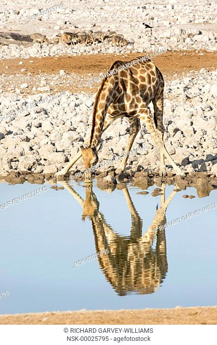 Southern Giraffe (Giraffa camelopardalis giraffa) drinking at waterhole with a group of Black-backed Jackals (Canis mesomelas) and a Pied Crow (Corvus albus)...