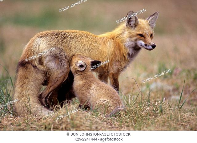 Red fox (Vulpes vulpes)- Mother and young, Killarney PP, ON, Canada