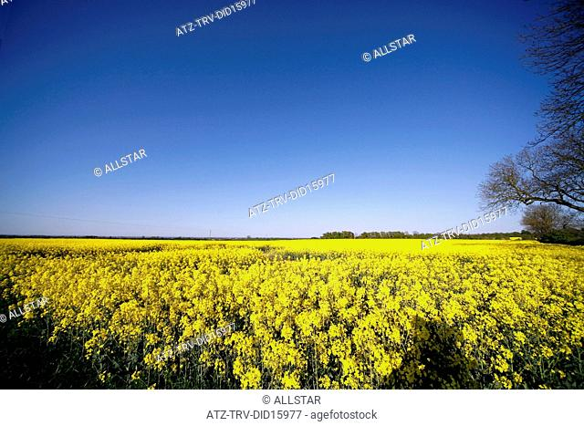 YELLOW RAPESEED PLANT FIELD; EAST YORKSHIRE, ENGLAND; 01/05/2011