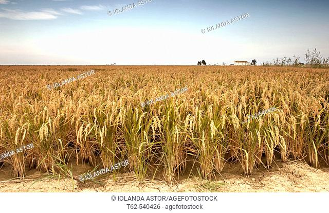 Rice field, Ebro River delta. Tarragona province, Catalonia, Spain