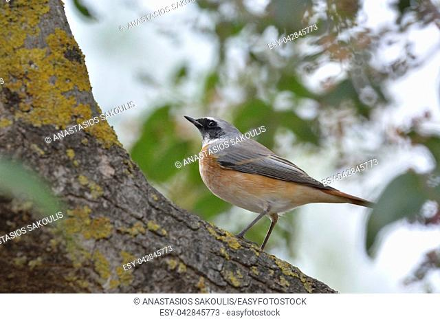 Common Redstart (Phoenicurus phoenicurus), Greece