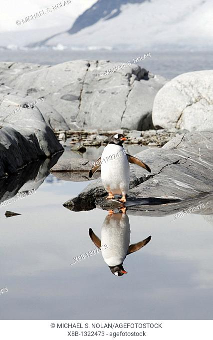 Adult gentoo penguin Pygoscelis papua reflected in a meltwater pool on Petermann Island, near the Antarctic Peninsula