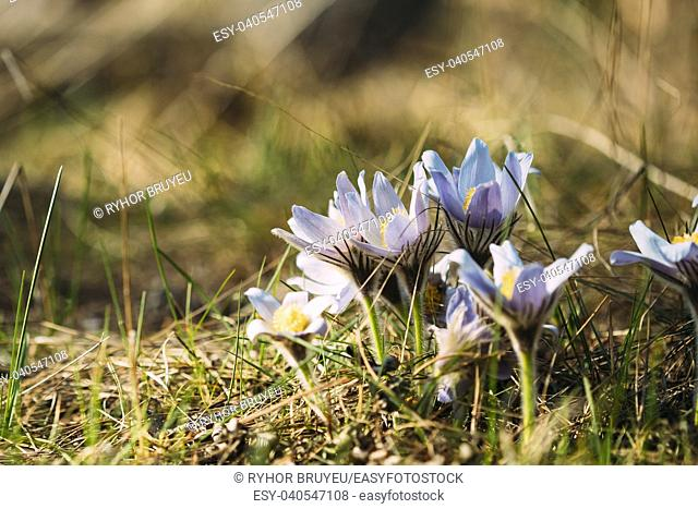 Wild Spring Flowers Pulsatilla Patens. Flowering Blooming Plant In Family Ranunculaceae, Native To Europe, Russia, Mongolia, China, Canada And United States
