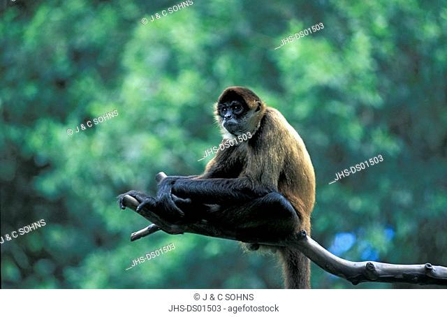 Spider Monkey,Ateles geoffroyi,Costa Riva,Central America,adult on tree