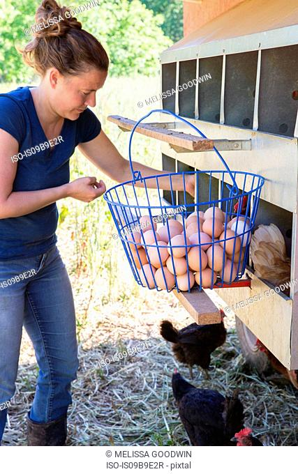 Woman collecting basket of free range eggs from golden comet and black star hens on organic farm