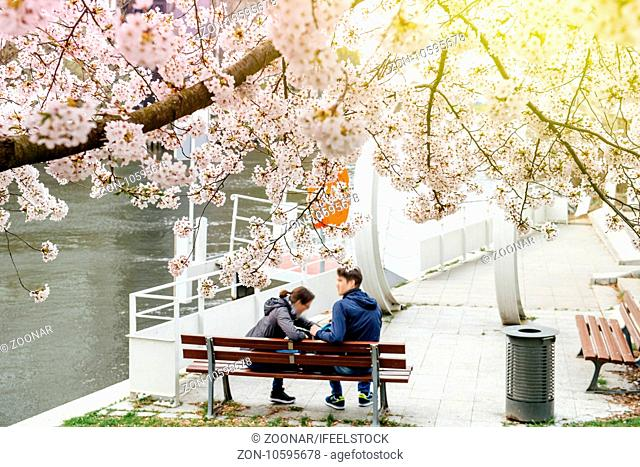 Couple on a bench under sakura cherry blossom tree in bloom