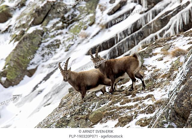 Two young male Alpine ibexes (Capra ibex) with small horns foraging in rock face in winter, Gran Paradiso National Park, Italian Alps, Italy