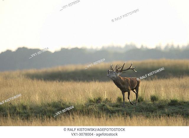 Red Deer ( Cervus elaphus ) in rut on wide open grassland, steppe, Europe