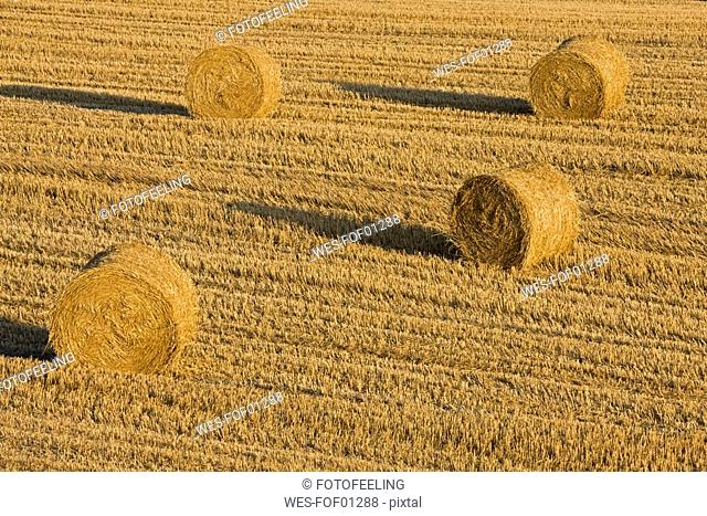 Italy, Tuscany, Bales of straw on harvested corn field