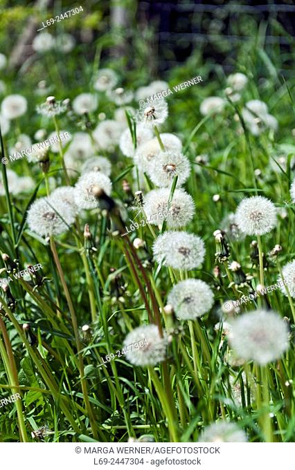 Seeds of dandelion, Taraxacum officinale, Schleswig-Holstein, Germany