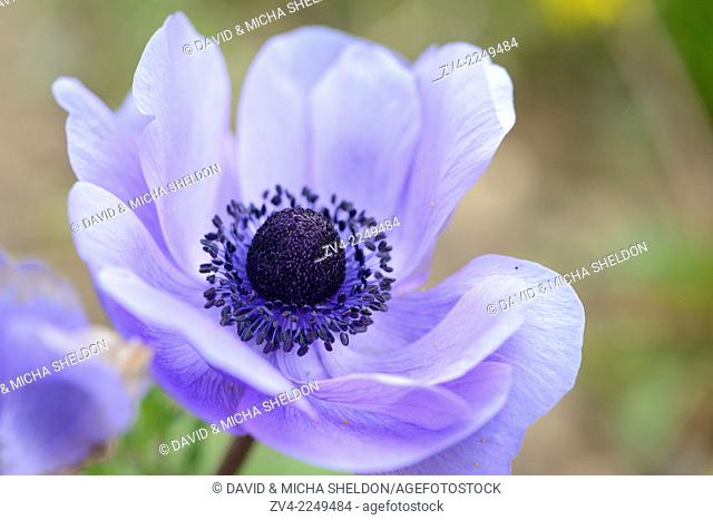 Close-up of a poppy anemone (Anemone coronaria) blossom in a garden in spring. Austria