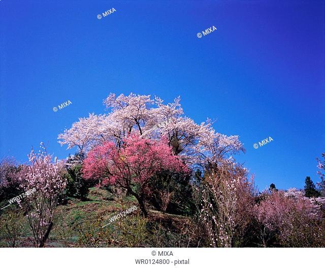Cherry blossoms in Hanamiyama Park