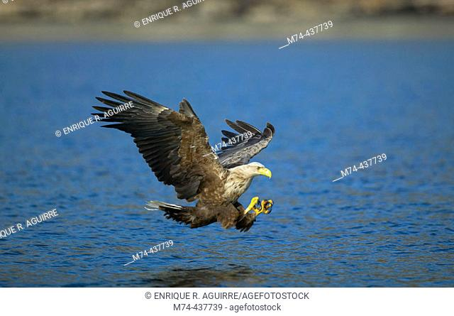 White-tailed eagle during fishing dive, Norway