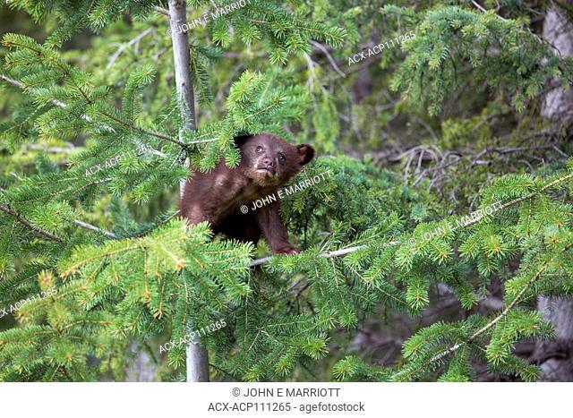 Black bear cub,, Ursus americanus, Kootenay, British Columbia, Canada