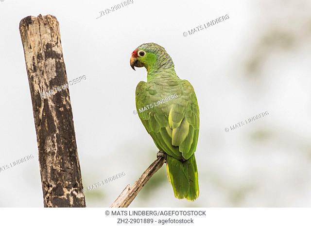 Red Lored Parrot, Amazona autumnalis ssitting in a tree with his back to the camera, Laguna del Lagarto, Boca Tapada, San Carlos, Costa Rica