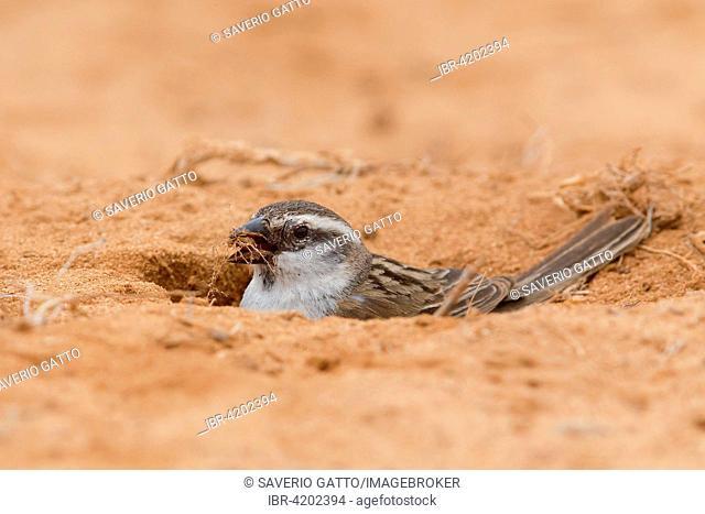 Iago Sparrow (Passer iagoensis), Female feeding, Boavista, Cape Verde