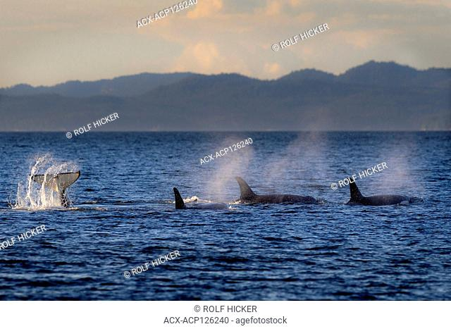 Northern resident orca whale pods (killer whales, Orcinus orca, A & G-clan) playing on a late afternoon in Queen Charlotte Strait along northern Vancouver...