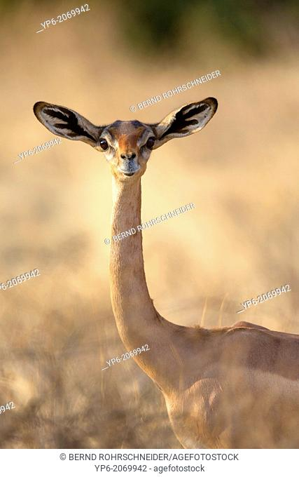 female Gerenuk (Litocranius walleri), Samburu National Reserve, Kenya