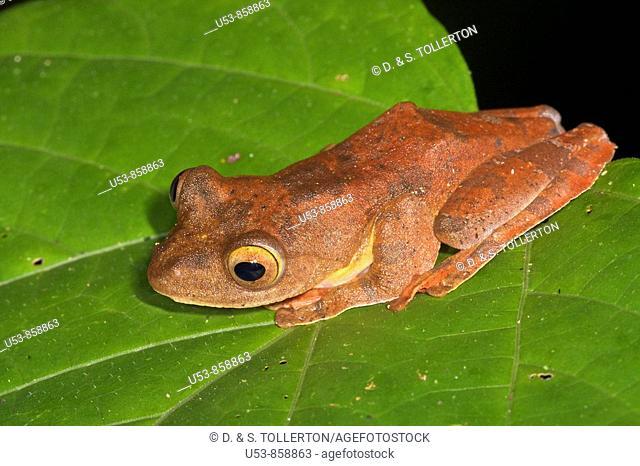 Harlequin Tree Frog, Rhacophorus pardalis, Danum Valley, Sabah, Borneo, Malaysia