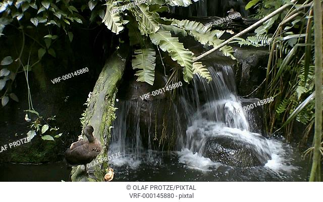Ducks at a rain forest pond with water fall