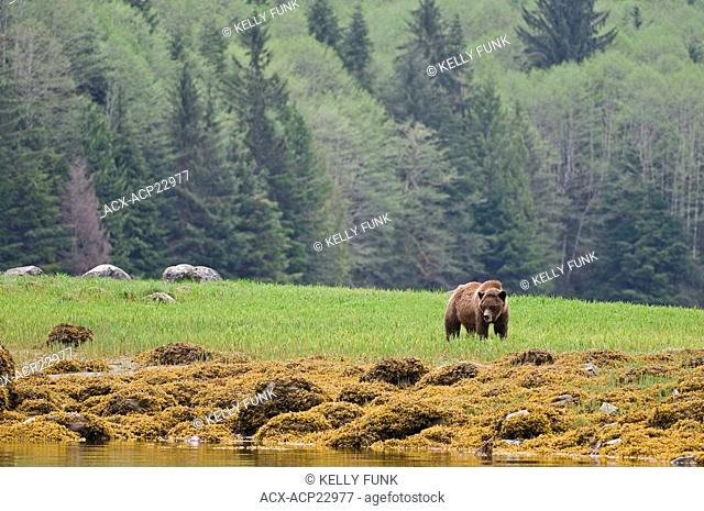 A male Grizzly Bear Ursus arctos horribilis surveys his surroundings while feeding on lush spring sedge grass, Khutzeymateen Grizzly Bear Sanctuary