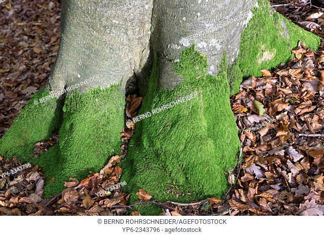 stem of an European beech (Fagus sylvatica) with moss, German Luxembourgian Nature Park, Germany