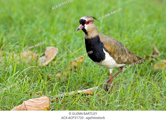 Southern Lapwing Vanellus chilensis cayennensis foraging for food along the shoreline in Trinidad and Tobago