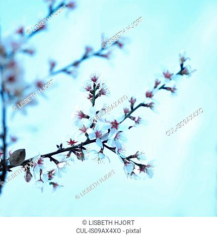 Close up of cherry blossom on blue background