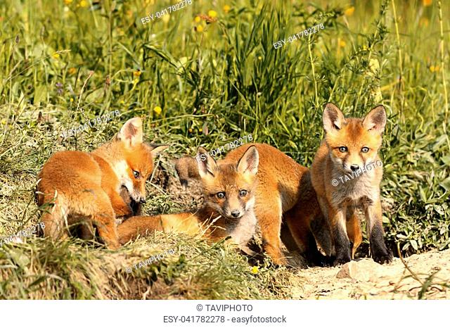 family of young red foxes near the den ( Vulpes )