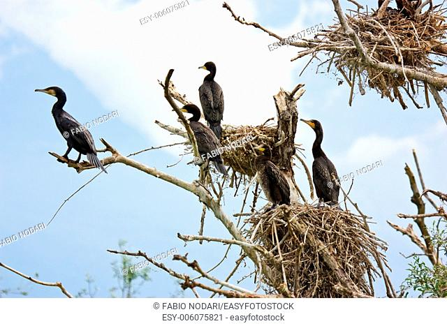 Cormorants and nests on a tree