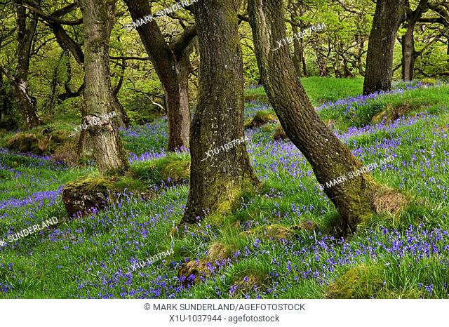 Bluebells and Oak Trees on The Waterfalls Walk near Ingelton Yor