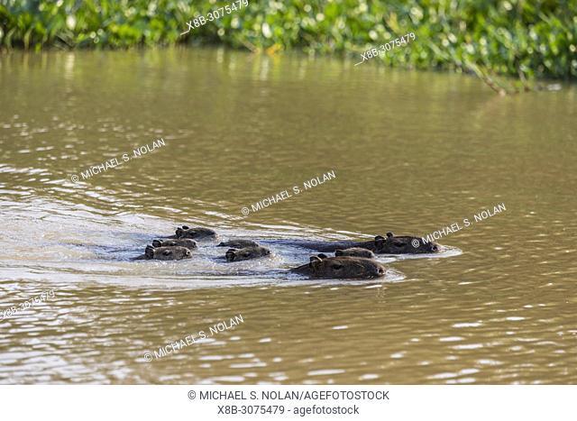 Adult capybaras, Hydrochoerus hydrochaeris, with young, Porto Jofre, Mato Grosso, Pantanal, Brazil