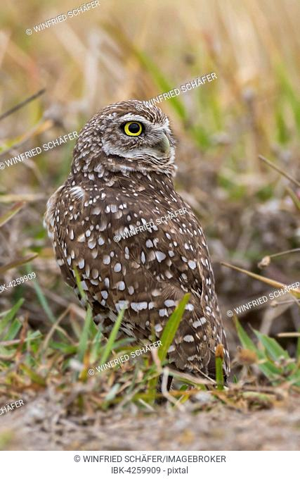 Burrowing owl (Athene cunicularia), Florida, USA