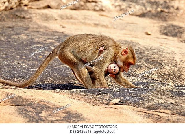 Asia, India, Karnataka, Sandur Mountain Range, Bonnet macaque Macaca radiata, mother with baby