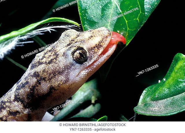 Marbled gecko Phyllodactylus marmoratus licking leaf