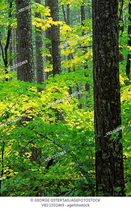 Douglas fir forest, Gifford Pinchot National Forest, Washington