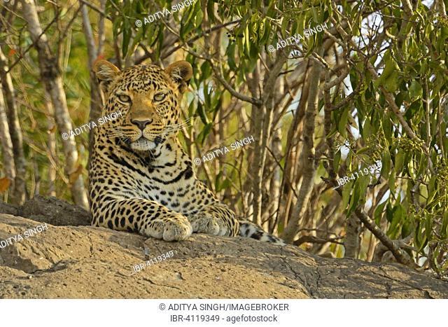 African Leopard (Panthera pardus pardus) on a rock, Masai Mara National Reserve, Kenya