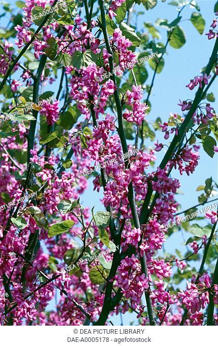 American Senna flowering branches (Cassia marilandica), Fabaceae-Leguminosae