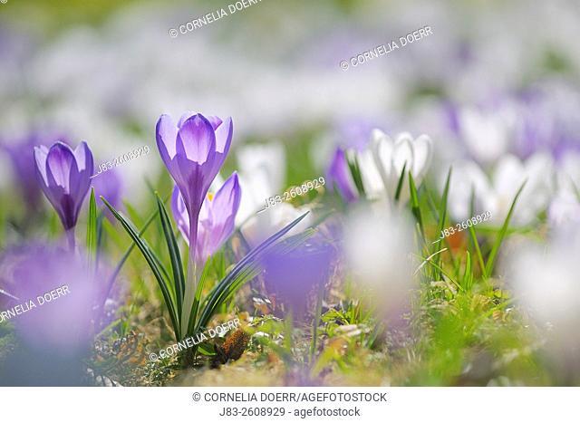 Crocus flower meadow, Selective Focus, Germany