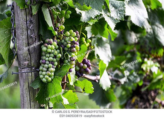 Vineyards on the Rhine, Rhineland-Palatinate, Germany, Europe