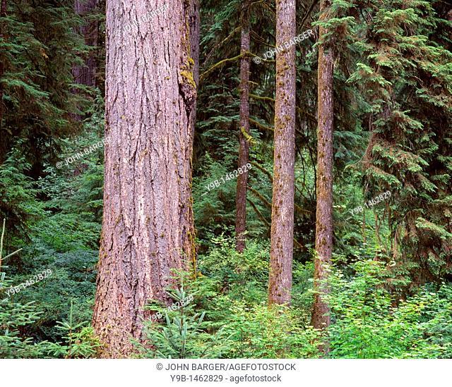 Massive trunk of Douglas fir and smaller western hemlocks, Quinault Rain Forest, Olympic National Park, Washington, USA