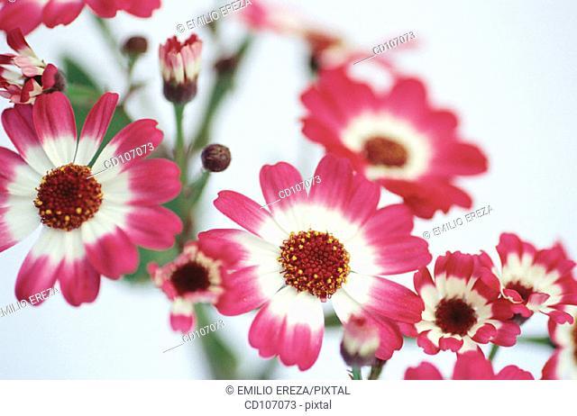 Cineraria (Cineraria hybr.)