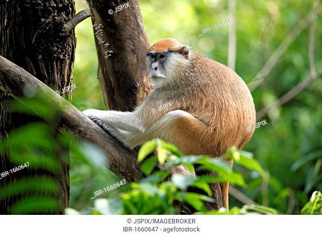 White-nosed Patas Monkey (Erythrocebus patas pyrrhonotus), adult in a tree, Tanzania, Africa