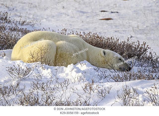 Polar Bear (Ursus maritimus) Sleeping along Hudson Bay coastline, waitoing for sea ice to form, Churchill Wildlife Management area, Churchill, Manitoba, Canada