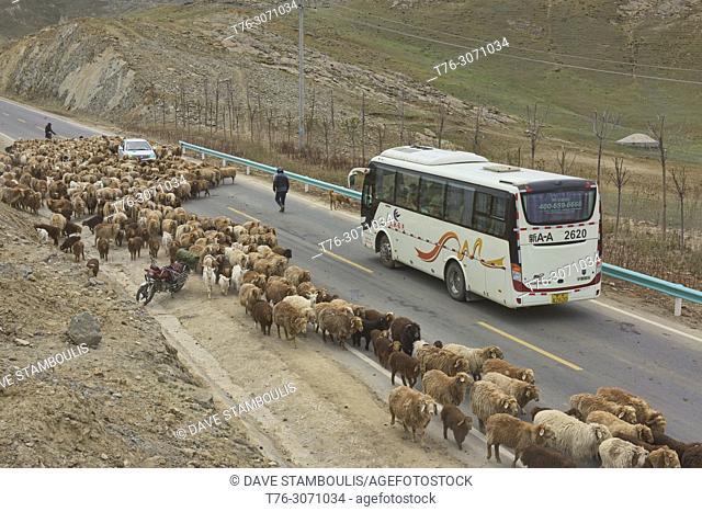 Kazakh nomads rounding up their sheep, Keketuohai, Xinjiang, China