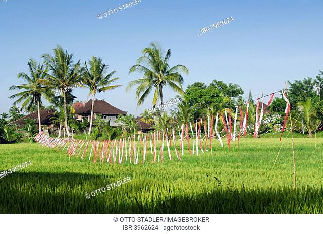 Colorful plastic bands scaring away birds on a rice field, Ubud, Bali, Indonesia